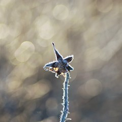 Frozen star (Stefano Rugolo) Tags: stefanorugolo pentax pentaxk5 jupiter37a135mmf35 m42 manualfocus manual 135mm vintagelens depthoffield bokeh frozen star sweden