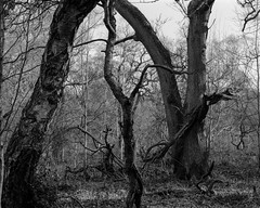 Hyons Wood, Walker Titan SF with Rodenstock Geronar 300mm, Ilford Ortho Plus in HC110 (Jonathan Carr) Tags: tree trees ancient woodland landscape rural northeast blackandwhite monochrome ilford ortho 4x5 largeformat walkertitansf