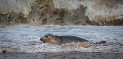 Ahh that's not so bad ! (paullangton) Tags: seal greyseal pup coast sea beach waves water mammal wildlife nature horsey norfolk eastcoast surf sand