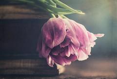 Tulip (Ro Cafe) Tags: stilllife flower tulip pink naturallight pastelcolors textured nikkor105mmf28 sonya7iii box
