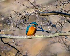 Kingfisher (shinichiro*@Hokkaido-until0217) Tags: 町田市 東京都 日本 20200130ds25735 2020 crazyshin nikonz6 z6 ftz sigma150600mmf563dgoshsmcontemporary winter january tokyo japan jp 薬師池公園 bird birds sspriority isoauto