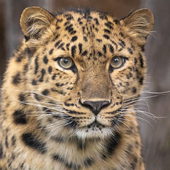 Satka's Classic Beauty (Penny Hyde) Tags: amurleopard bigcat leopard sandiegozoo