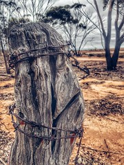 (Electric Soup) Tags: eucalyptus desert pindan barbedwire fence post goldfields westernaustralia australia outback