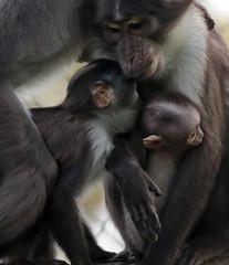 whitecap mangabey Blijdorp BB2A0573 (j.a.kok) Tags: animal africa afrika aap mammal monkey motherandchild moederenkind mangabey blijdorp zoogdier dier primate primaat witkruinmangabey whitecapmangabey