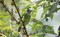 20191201-0I7A7258 (siddharthx) Tags: birds canon birdwatching 2019 doiangkhang dawntilldusk canon7dmkii december2019 canon1dxmkii 1dxmkii cottoncarrierg3 breakthroughphotographyx4uv wild forest thailand hide th goldenhour norththailand doiinthanon wildbirds doilang ef100400mmf4556lisiiusm tamron150600mmf563divcusdg2 promediageartr424lpmgprostix sachtlerfsb8t doisanju wildlife bestbirdshots bbcearth earthpix animalsultans earthcapture birdscaptures bbofig birdbrilliance birdsadored birdsillife bestbirdsplanet birdsprivate bestbirdsofworld wildbirdtrust planetbirds natgeowild naturyst photopond featherperfection nutsaboutbirds featuredwildlife kingsbirds eyespybirds pocketbirds ipbirds wildlifecentral nutsaboutwildlife discovery wildlifephotography wildplanet wildlifeonearth yourbestbirds barbet goldenthroatedbarbet