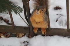Fox Squirrels on a Snowy Winter