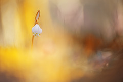 Angenieux-75 (florence.richerataux) Tags: angenieux75 nivéole macro m42 vintage lens optical fuji xt1 bokeh nature bulles bubbles objectif ancien jardin extérieur fleurs insectes plantes botanic florence richerataux pdf dof couleurs printemps été automne hiver spring summer autumn winter bois forêt wood forest lumière naturelle saison