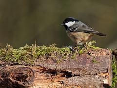 Coal Tit (Artisanart) Tags: coal tit bird nature wildlife wood woodland east anglia suffolk norfolk arboretum