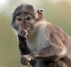 whitecap mangabey Blijdorp BB2A0523 (j.a.kok) Tags: animal africa afrika aap mammal monkey mangabey blijdorp zoogdier dier primate primaat witkruinmangabey whitecapmangabey