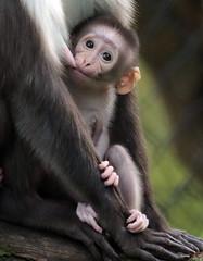 whitecap mangabey Blijdorp BB2A0636 (j.a.kok) Tags: animal africa afrika aap mammal monkey mangabey blijdorp zoogdier dier primate primaat witkruinmangabey whitecapmangabey
