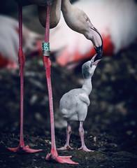 Feed the hungry (Karsten Gieselmann) Tags: 300mmf4 em5markii flamingo mzuiko mc14 microfourthirds natur olympus tiere tiergartenzoo vögel wasservögel kgiesel m43 mft nature zoo riedisheim groserosten frankreich