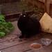 Little black cat, outside. IMG_4103