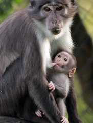 whitecap mangabey Blijdorp BB2A0648 (j.a.kok) Tags: animal africa afrika aap mammal monkey motherandchild moederenkind mangabey blijdorp zoogdier dier primate primaat witkruinmangabey whitecapmangabey