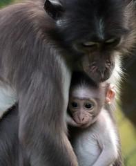 whitecap mangabey Blijdorp BB2A0584 (j.a.kok) Tags: animal africa afrika aap mammal monkey motherandchild moederenkind mangabey blijdorp zoogdier dier primate primaat witkruinmangabey whitecapmangabey