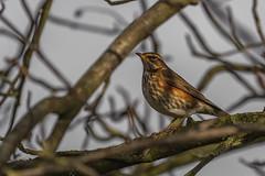 Redwing profile perched (Turdus iliacus) (PapaPiper) Tags: turdusiliacus redwing britishbirds birds rural gloucestershire southgloucestershire unitedkingdom uk england rspb bto glo