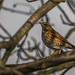 Redwing profile perched (Turdus iliacus)