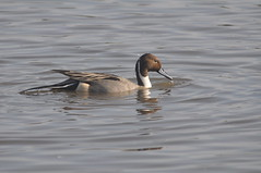 Northern Pintail (Anas acuta) (Service Dolphin) Tags: wwt slimbridge gloucestershire water birds waterfowl ducks pintail