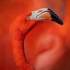 Flamingo-5899-Edit (Eric Gofreed) Tags: albuquerquezoo newmexico zoo flamingo