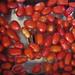 Tomatoes Soaking – Red Moon Sanctuary, Redmond, Western Australia