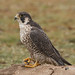A Relaxed Peregrine Falcon
