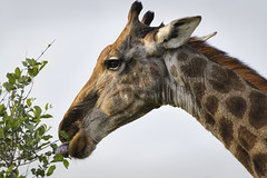 Giraffe (timopfahl) Tags: giraffe tongue zunge eating leaves safari southafrica tydonbushcamp tydon bush camp kruger sabisands national park animal mammal plant eater
