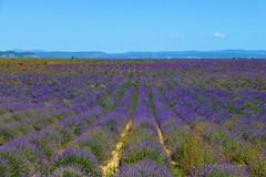 P1140712 (alainazer) Tags: valensole provence france fiori fleurs flowers fields champs ciel cielo sky colori colors couleurs lavande lavanda lavender
