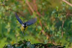 _JRH5408 (jeanrene31240) Tags: mésanges mésangescharbonnières midipyrénées occitanie oiseaux passereaux france
