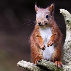Red Squirrel (robin denton) Tags: wildlife nature wensleydale yorkshiredales squirrel redsquirrel autumn forage foraging animal yorkshire northyorkshire sciurusvulgaris moss yorkshiredalesnationalpark nationalpark yorkshirewildlifetrust mammal inthewild ngc
