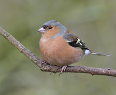 Chaffy (KHR Images) Tags: chaffinch male fringillacoelebs sculthorpe moor norfolk wildlife nature nikon d500 kevinrobson khrimages