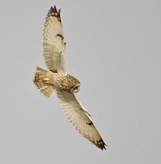 Short-eared Owl (Alan McCluskie) Tags: shortearedowl shortie seo owlflying owlinflight owls asioflammeus canon7dmk2 sigma150600mmsp birdofprey birdinflight