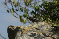 Van Dam's girdled lizard (Smaug vandami) (zentience) Tags: herpetology herps herping lizard cordylidae cordylid skurwejantjie reptile