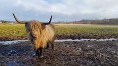 Bitte, Highland cattle