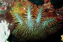 Acanthaster pourpre (Acanthaster planci) / Bali (Michel photography / Thanks for 25 Millions) Tags: acanthaster bali étoile mer