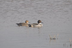 Northern Pintail (Anas acuta) (Service Dolphin) Tags: slimbridge gloucestershire wwt birds waterfowl ducks pintail