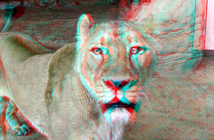 Lion Blijdorp Zoo Rotterdam 3D (wim hoppenbrouwers) Tags: anaglyph stereo redcyan lion blijdorp zoo rotterdam 3d leeuwin panthera