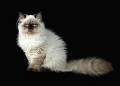 Kitten Portrait (Jenny Onsager) Tags: cat pet feline portrait longhair blueeyes kitten himalayancat whitecat
