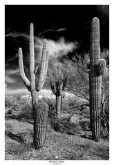 Before the storm (claudiov958) Tags: arizona biancoenero blancoynegro cavecreek claudiovaldés černýabílý landscape noiretblanc paisaje pretoebranco sonorandesert sonya7r3 blackwhite cactus czarnyibiały schwarzundweiss черноеибелое saguaro fe2470mmf4zaoss cacti compassbarrelcactus