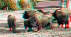 Bisons Blijdorp Zoo 3D (wim hoppenbrouwers) Tags: bisons blijdorp zoo 3d anaglyph stereo redcyan lumix gf3