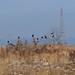 Crows in the Yasugawa (野洲川) riverbed
