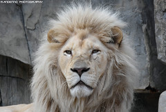 African white lion - Ouwehands Dierenpark (Mandenno photography) Tags: animal animals dierenpark dierentuin african dieren white whitelion lion lions bigcat big cat cats zoo ouwehands dierpark ngc nature nederland natgeo natgeographic netherlands bbcearth bbc discovery