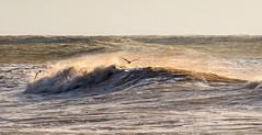Playing above the waves (Through Bri`s Lens) Tags: sussexlancingworthingseagullsbeach photographywavesbrian spicercanon 5 d mk 3canon 70200