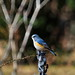 Red-flanked bluetail male (Tarsiger cyanurus, ルリビタキ ♂)