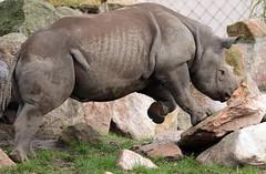 Black rhino Mara Blijdorp BB2A0819 (j.a.kok) Tags: animal africa afrika mammal zoogdier dier rhino rhinoceros rhinocalf neushoorn blackrhinoceros zwarteneushoorn puntlipneushoorn blijdorp
