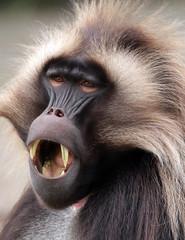 Gelada Blijdorp BB2A1977 (j.a.kok) Tags: animal africa afrika aap mammal monkey primate primaat zoogdier dier gelada roodborstbaviaan baviaan baboon blijdorp