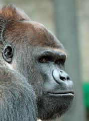 western lowlandgorilla Nasibu Blijdorp BB2A1848 (j.a.kok) Tags: animal africa afrika aap ape mammal monkey mensaap primate primaat zoogdier dier gorilla westelijkelaaglandgorilla westernlowlandgorilla lowlandgorilla laaglandgorilla nasibu silverback zilverrug blijdorp