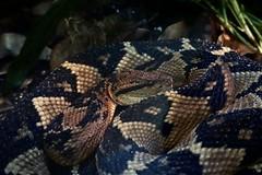 The Bushmaster (travis.r.moore90) Tags: fortworthzoo zoo nature wildlife wild reptile snake bushmaster