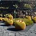 Cactus (Jardin des cactus-Lanzarote/Canaries)