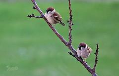 Passerotti - Sparrows (Jambo Jambo) Tags: passeri sparrows uccelli birds cacciafotografica birdwatching grosseto maremma maremmatoscana toscana tuscany italia italy sonyrx10m4 jambojambo