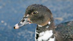 Canard musqué, Muscovy Duck - Fort Lauderdale,  USA - 3449 (rivai56) Tags: canardmusqué muscovyduck fortlauderdale usa 3449 gros plan du canard duck closeup