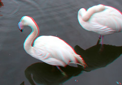 Flamingo Blijdorp Zoo Rotterdam 3D (wim hoppenbrouwers) Tags: flamingo blijdorp zoo rotterdam 3d anaglyph stereo redcyan
